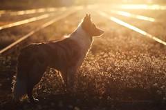 GOLD (Martyna Og) Tags: sunset dog pet puppy outdoor walk bordercollie growingup citywalk photoshooting citydog doginsun doginsunset littledoglaughedstories bordercolliefloey 3waiting cityphotoshoting