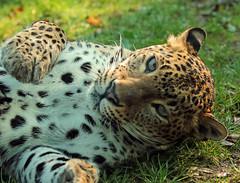 shrilankan panther Burgerszoo JN6A5880 (j.a.kok) Tags: leopard panther burgerszoo panter luipaard shrilankapanter shrilankanpanther