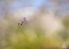Jacinto estrellado (Scilla lilio-hyacinthus) (ALQVIMIA) Tags: flower nature azul flor olympus bosque scilla jacinto helios estrellado liliohyacinthus