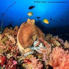 similandivingsafaris.com:reef octopus.jpg alt=Reef Octopus :> (similandivingsafaris) Tags: ocean fish macro water coral thailand aqua scuba diving scubadiving corals khaolak andamansea underwaterphotography liveaboard similanislands kohbon kohtachai dolphinqueen worldfamousrichelieurock similanexplorer