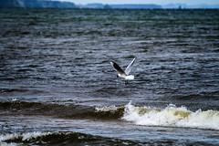 DSC07275 (fidel_barto) Tags: bird germany landscape deutschland outdoor sony balticsea landschaft ostsee usedom sonyalphaslta58