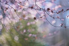 la valse dans l'ombre (Lamson Noswen (c'lamson)) Tags: pink light spring blossom bokeh shade waltz lamson valse