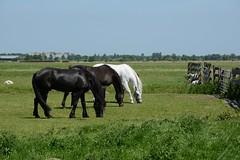 3 Paarden (klok.richard) Tags: horse paar weiland paarden alphen boskoop