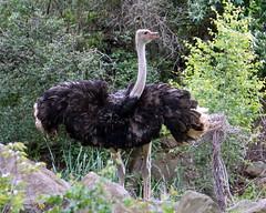 DSC07111 (Ed McKaveney) Tags: zoo pittsburgh ostrich