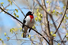 Rose-breasted Grosbeak - Cardinal  poitrine rose (ricketdi) Tags: bird rose cardinal ngc rosebreastedgrosbeak cantley coth cardinalapoitrinerose coth5 sunrays5