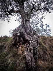 Olivo (efe Marimon) Tags: arbol catalunya olivo raices canonpowershots120 felixmarimon