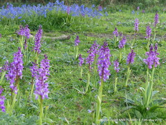 P1510618 (Pitzy's Pyx, keep snapping away!.) Tags: sussex southdowns scoopt earlypurpleorchids lumixfz200 lullingtonheathnnr