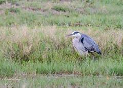GB Heron (dbking2162) Tags: blue beach heron nature field grass birds animal florida fort wildlife myers