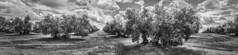 Olive (Jose Mara Ruiz) Tags: blackandwhite panorama espaa white black tree blancoynegro blanco clouds arbol countryside spain heaven negro olive andalucia cielo panoramica nubes campo farmer jaen andalusia aceitunas malaga olivo aceituna agricultor
