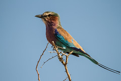 Lilac-breasted Roller (onurbwa51) Tags: bird roller lilacbreasted africa namibia etosha highup vantagpoint lokkingforprey