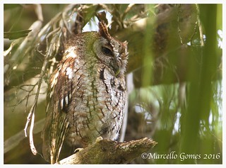 Eastern Screech Owl (Megascops asio) EASO - Tired from Overnight Partying Last Night...(best seen larger)