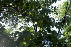 Tulip Tree (Nsharp17) Tags: light tree film 35mm kodak growth ricoh tuliptree ultramax