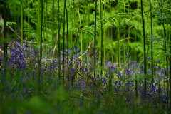 It's a jungle out there. (nancy II) Tags: flowers wild nature grass scotland spring woods may ferns bluebell hyacinth 2016