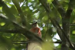Linotte mlodieuse Carduelis cannabina Linnet (aigledayres) Tags: linnet cardueliscannabina linottemlodieuse