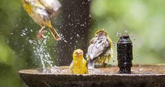 What was that? (Sheldrickfalls) Tags: southafrica birdbath weaver krugernationalpark mpumalanga krugerpark kruger lowersabie lowersabiecamp ploceusintermedius lessermaskedweaver
