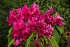Rhododendron (newpeter) Tags: dahlia flowers iris roses plants rose berry berries waterlily blossom thistle crocus fungi rhododendron daffodil tulip daisy magnolia toadstool buds forgetmenot azalea pansies primula pussywillow primrose catkins teasels