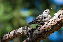 The Baby Nuthatch (Wild Birdy) Tags: mn minnesota aba usa kabekona laporte bird cute adorable baby immature young little thebabynuthatch sittacarolinensis scarolinensis whitebreastednuthatch nuthatch bokeh