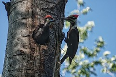 Feed me, mom! (beyondhue) Tags: pileated woodpecker baby chick mom mother beyondhue bird hole tree feed