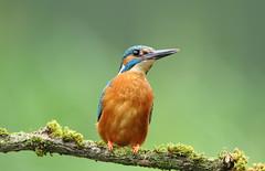 Kingfisher (Colin Rigney) Tags: bird nature animal outside outdoor wildlife kingfisher ukwildlife ukbirds canoneos7d worcestershireuk colinrigney
