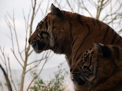 Chester Zoo (Nigel's Europe & beyond 2) Tags: tigers sumatrantiger chesterzoo