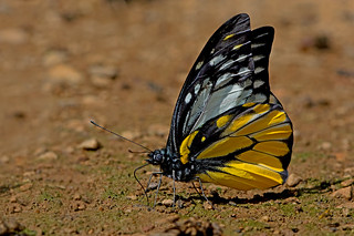 Prioneris thestylis - the Spotted Sawtooth (male, dry season form)