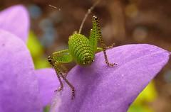 Bug butt (Les Fisher) Tags: bug insect bushcricket speckledbushcricket bbbt beautifulbugbutthursday