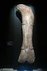 Titanosaurus Femur (Roamer61) Tags: femur bone dinosaur fossil museum amnh nyc titanosaur prehistoric