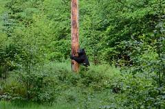 & (Tab Tannery) Tags: bear blackbear ursus ursusamericanus