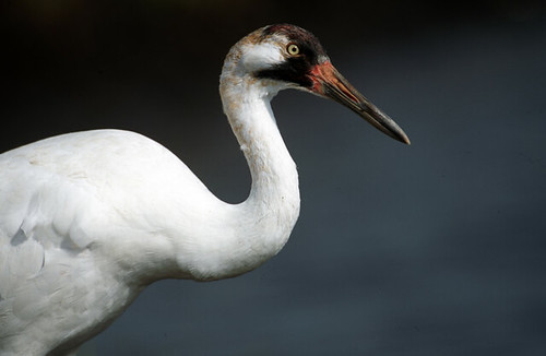 Endangered Whooping Crane (Grus american by USFWS Headquarters, on Flickr