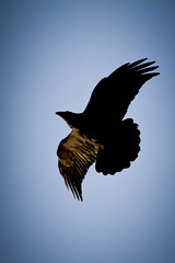 Raven (Dan Stanyer (Northern Pixel)) Tags: sky canada bird flying bc columbia british northern raven overhead