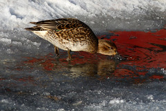 Drinking red paint...;) (Päivi ♪♫) Tags: water oslo norway female drinking frognerpark anascrecca eurasianteal vigelandspark blinkagain peregrino27life