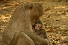Babie Monkey (H3153mb3rg) Tags: cute love nature beautiful animal closeup mammal outdoors monkey hugging wildlife mother happiness son babie doughter animaleye animalhead