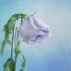 Lisianthus (borealnz) Tags: flowers blue flower leaves soft pretty purple fading droop lisianthus