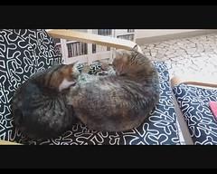 Facciamoci belle 1/2 (Alfredo Liverani) Tags: italien italy pet cats pets faience cat ellen italia alice gatos gato katze gatto katzen gatti italie emiliaromagna romagna faenza gatte gatta faventia aliceellen