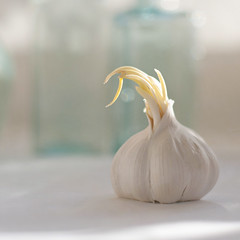 garlic (borealnz) Tags: bulb healthy vegetable growth garlic veggie sprouting