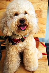 Zen at Marmalade (L.Cheryl) Tags: dog puppy toy restaurant cafe zen poodle marmalade