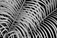 The cycad (Deb Jones1) Tags: bw abstract flower macro nature floral beauty leaves sepia canon garden botanical outdoors leaf flora australia blooms cycad flickrduel debjones1
