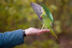 Perruche  Collier, Rose-ringed Parakeet (Zed The Dragon) Tags: wild bird speed jaune collier french geotagged effects photography photo flickr minolta photos bokeh sony main images vert full perruche frame parakeet getty fullframe alpha antony animaux parc postproduction franais sal zed gettyimages oiseaux francais sceaux lightroom effets parcdesceaux 24x36 roseringed psittacula a850 sonyalpha krameri hpexif parcsceaux dslra850 alpha850 zedthedragon minoltaapo80200hs