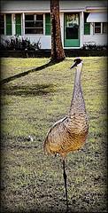 My First Sandhill Crane Shot (Chris C. Crowley- grieving and recovering) Tags: winter bird animal crane waterbird coldweather sandhillcrane floridawildlife floridabird chriscrowley celticsong22 feb122012 myfirstsandhillcraneahot extendedhabitat afreezingcolddayinflorida
