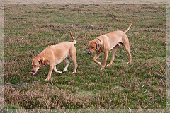 Ella and her New Forest Beau walking in step (fstop186) Tags: two dogs tongue forest fun walk heather exploring ella lick ridgeback rhodesian yabbadabbadoo