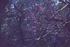 ume − feb.2011 (reinetor) Tags: street light flower color closeup canon eos dof bokeh plum 5d ume f4 cameraman zoomlens 梅 mark2 shallowfocus ef70200 alwaysthinkingaboutyou fe70200f4