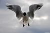 Vol  semi stationnaire (Diegojack) Tags: lac eau peregrino27life mouettes oiseaux