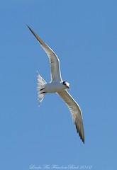 Royal Tern, Jekyll Island, GA (Linda FreedomBird) Tags: royaltern birdinflight birdportrait wildbird wildlifephotography avianphotography terninflight birdinfly wingsspirit lindafreedombird wingsspiritcomjekyllisland