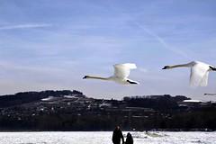 Airborne Cygnus (L. A. Garchi leo_gricha instgrm) Tags: white bird swan flight icepack schwan froid hielo yverdon cygne sustainable glace banquise durable flyinglow romandie radada mg2377 theartofflight madeindemocracy