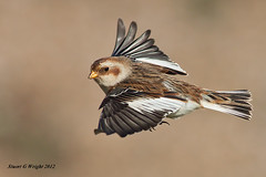 Snow bunting in flight (Stuart G Wright Photography (Decorating for a whil) Tags: snow bird birds g wildlife flight stuart wright bunting specanimal stuartgwrightcom