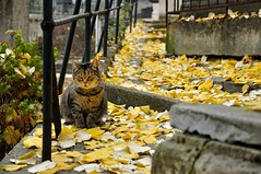 Paris : The cat of the Montmartre Cemetery  2/7 (Pantchoa) Tags: autumn paris france fall cemetery leaves cat automne nikon chat montmartre feuilles cimetire d90 1685mmf3556 pantchoa ringexcellence
