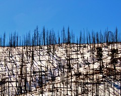 burned trees on a snow covered hill (bradleygee) Tags: shadow sky white snow nature dead colorado branch bare bluesky covered trunk forestfire hillside burned sparse