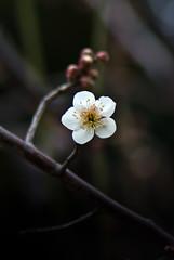 White One (shinichiro*) Tags: winter flower macro japan february ume kanagawa crazyshin 2012  plumblossoms afsvrmicronikkor105mmf28gifed    nikon1v1 20120228dsc3812