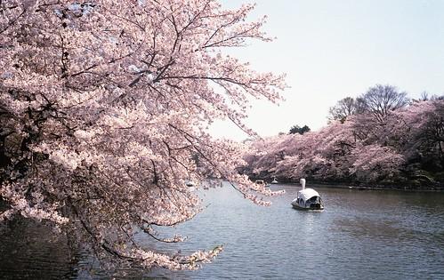 Sakura in Inokashira Park By Fujifilm Klasse S