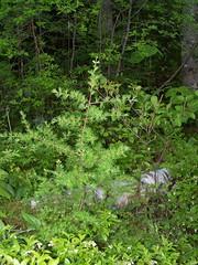 Mlze, lac  Marie 1 (France Smyth) Tags: larches conifers tamarack pinaceae americanlarch tamarac larixlaricina coniferae hackmatack conifres mlzes tamaracklarch pinefamily mlzelaricin pinaces mlzedamrique